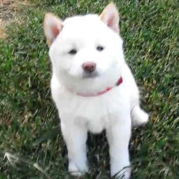 Cream Shiba Inu Puppies For Sale