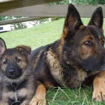 Czechoslovakian German Shepherd Puppies
