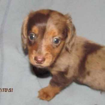 Dachshund Dogs For Sale In Michigan