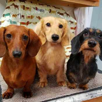 Dachshund For Sale In Illinois