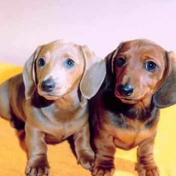 Dachshund For Sale In Nc
