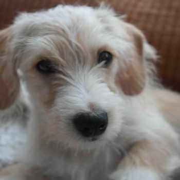 Dachshund Maltese Mix Puppies For Sale