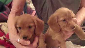 Dachshund Puppies Portland Oregon | Pets and Dogs