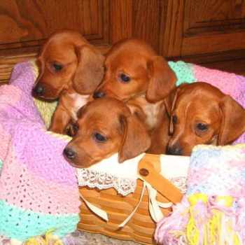Dachshund Puppies For Sale In Illinois