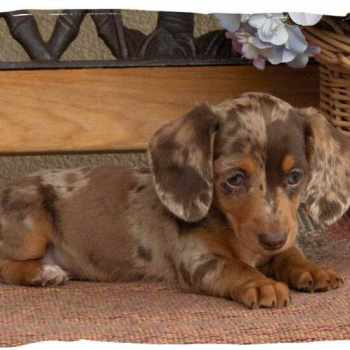 Dachshund Puppies For Sale In Minnesota