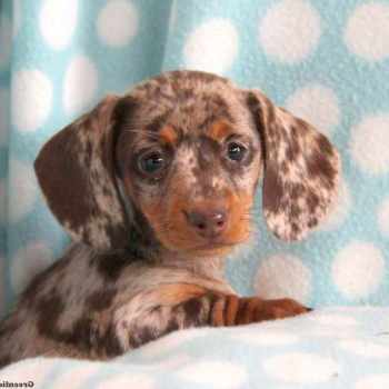 Dachshund Puppies For Sale In Pennsylvania