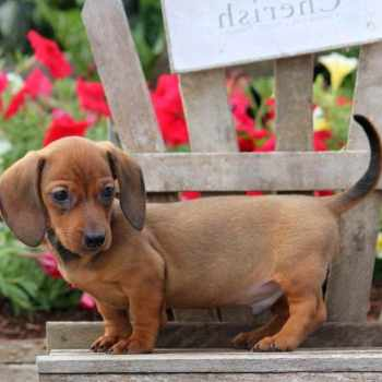 Dachshund Puppies For Sale Nj