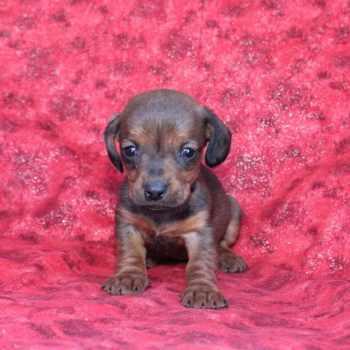Dachshund Puppies For Sale Utah