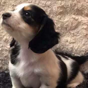Dachshund Puppies Lakeland Fl