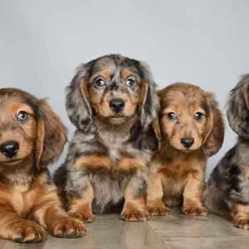 Dachshund Puppies Orlando