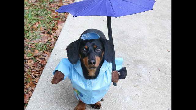 Dachshund Rain Jacket
