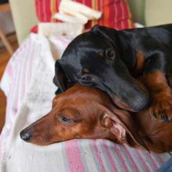 Dachshund Rescue In Alabama
