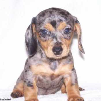 Dapple Dachshund Puppies For Sale In Tn