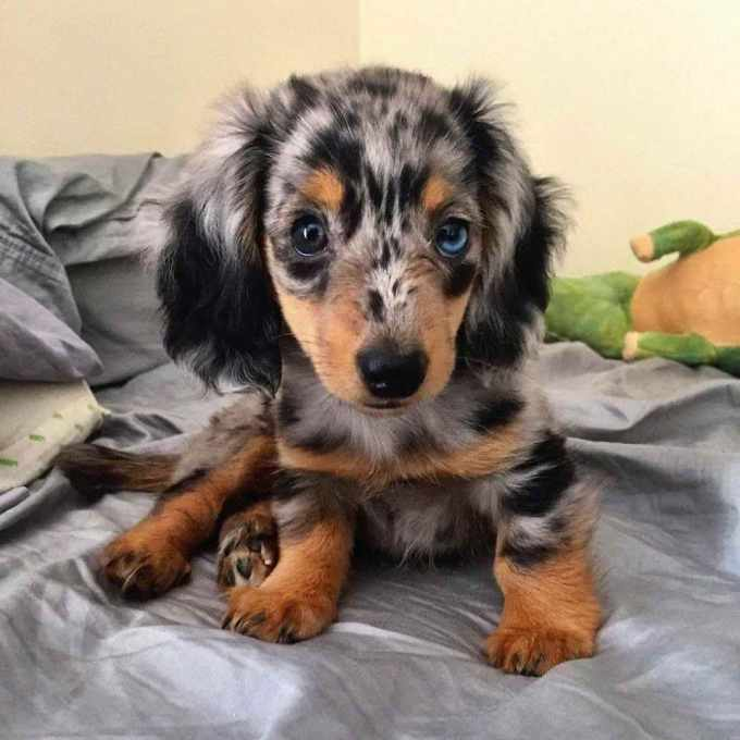 Dapple Mini Dachshund