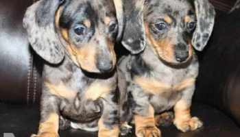Blue Dapple Miniature Dachshund For Sale | Pets and Dogs