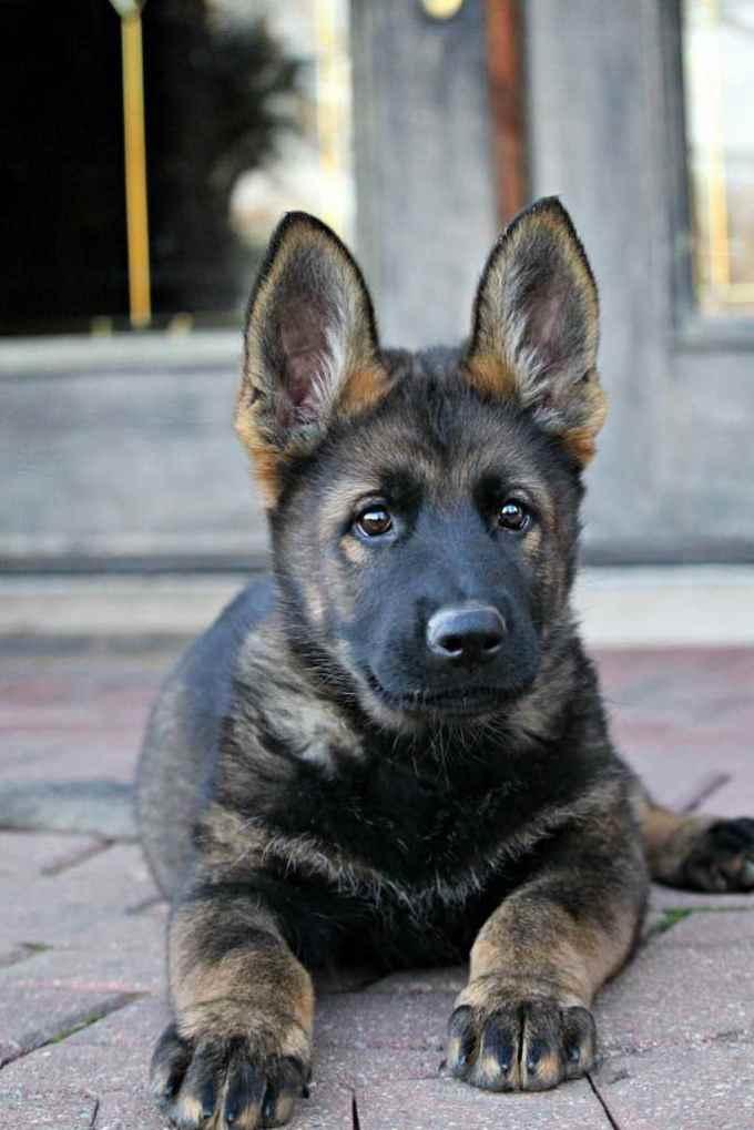 Dark Sable German Shepherd Puppy
