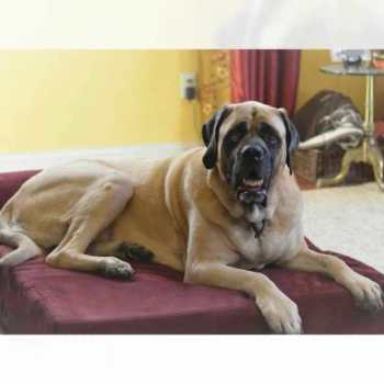 Dog Bed For English Mastiff
