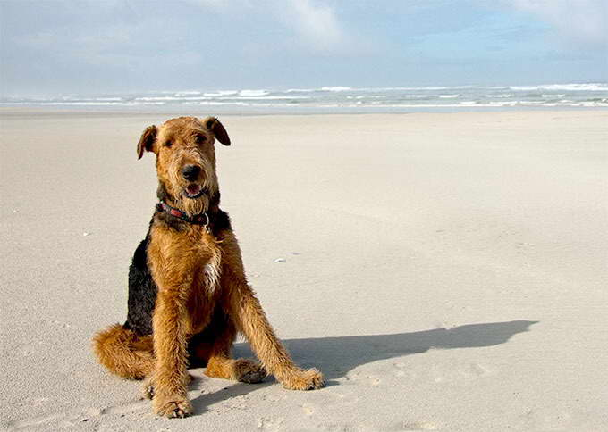 Dog Breeds Airedale Terrier