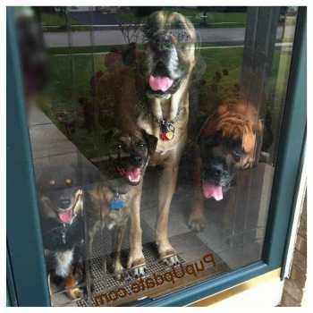 Dog Door For English Mastiff