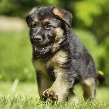 Dog German Shepherd Puppies