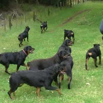 Dog Kennel For Rottweiler