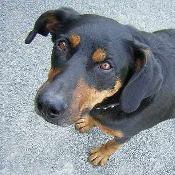 Dog That Looks Like A Rottweiler But Skinny