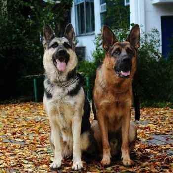 East European Shepherd Vs German Shepherd