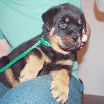 Ebay Rottweiler Puppies