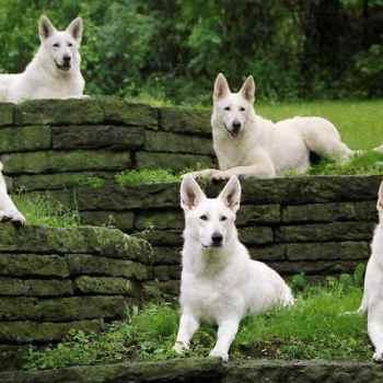 Echo White German Shepherd