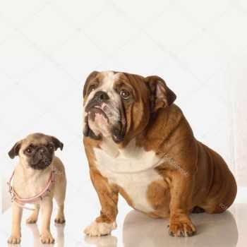 English Bulldog Pug Puppy