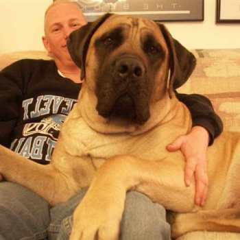 English Mastiff Breeders In Virginia
