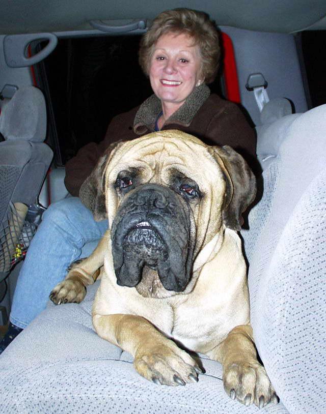 English Mastiff For Adoption