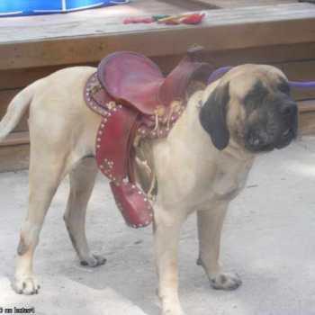 English Mastiff For Sale Mn