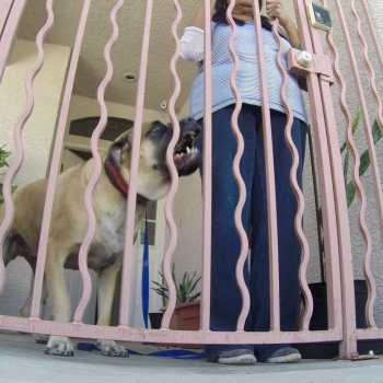 English Mastiff Protection