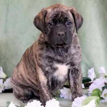 English Mastiff Pupies For Sale
