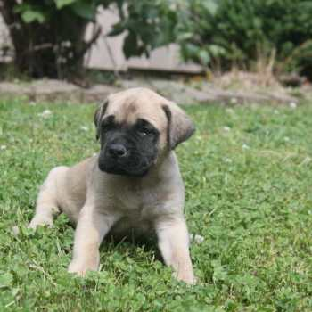 English Mastiff Puppies For Sale In Maryland