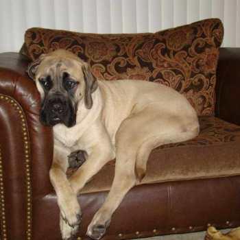 English Mastiff Puppies For Sale In Oregon