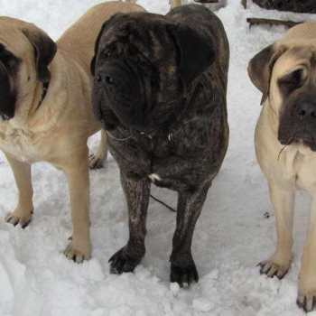 English Mastiff Puppies For Sale Nj