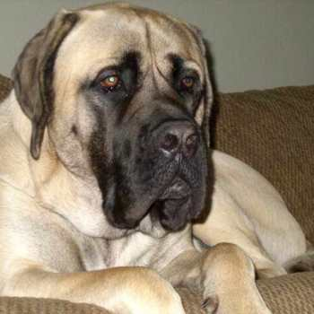 English Mastiff Puppies For Sale Texas
