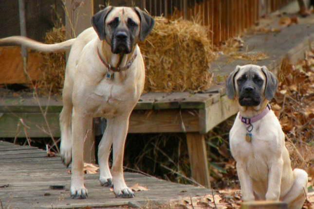 English Mastiff Puppies Price