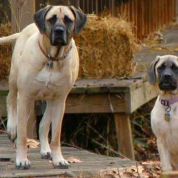 English Mastiff Puppies Prices