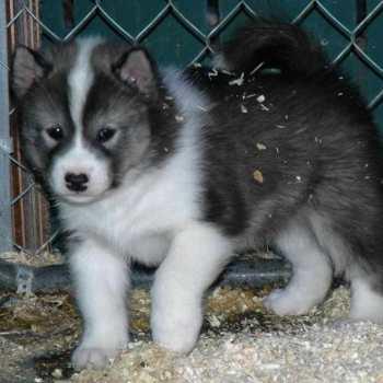 Eskimo Husky Puppy