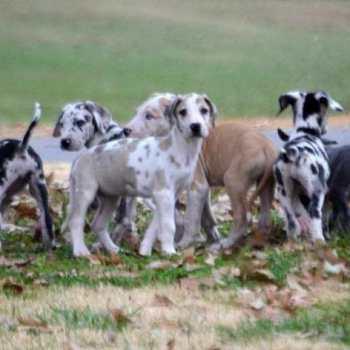 Fawnequin Great Dane For Sale