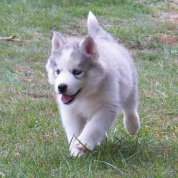 Female Husky Puppies For Sale