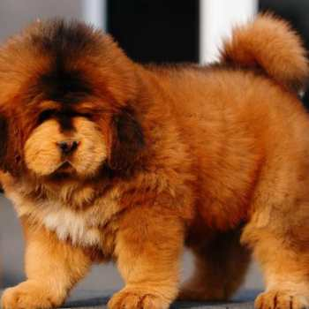 Fluffy Mastiff Puppies For Sale