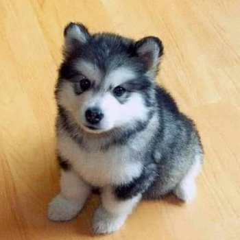 Forever Puppy Husky For Sale
