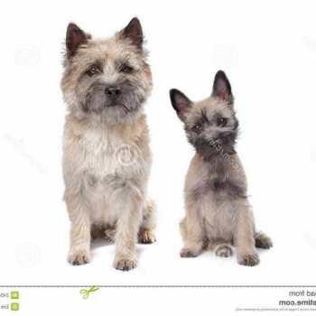 Free Cairn Terrier Puppies
