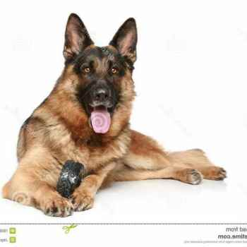 Free German Shepherd Dog