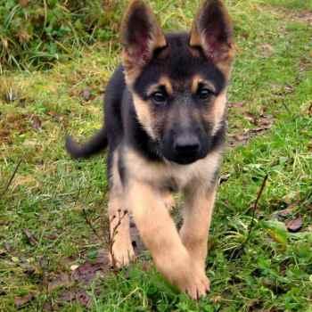 Free German Shepherd Dogs