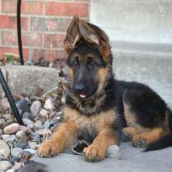 Free German Shepherd Puppies Craigslist